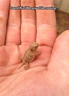 ♥ Small Pets ♥ A Baby Horned Lizard ((I remember playing with these when I was a little girl in Texas....Cute!))