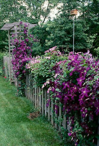 Amazing Jackmanii Clematis along the fence-line