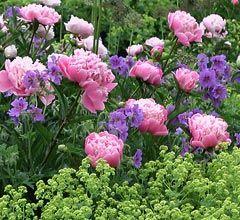 Paeonien harmonieren mit Frauenmantel und blauem Geranium