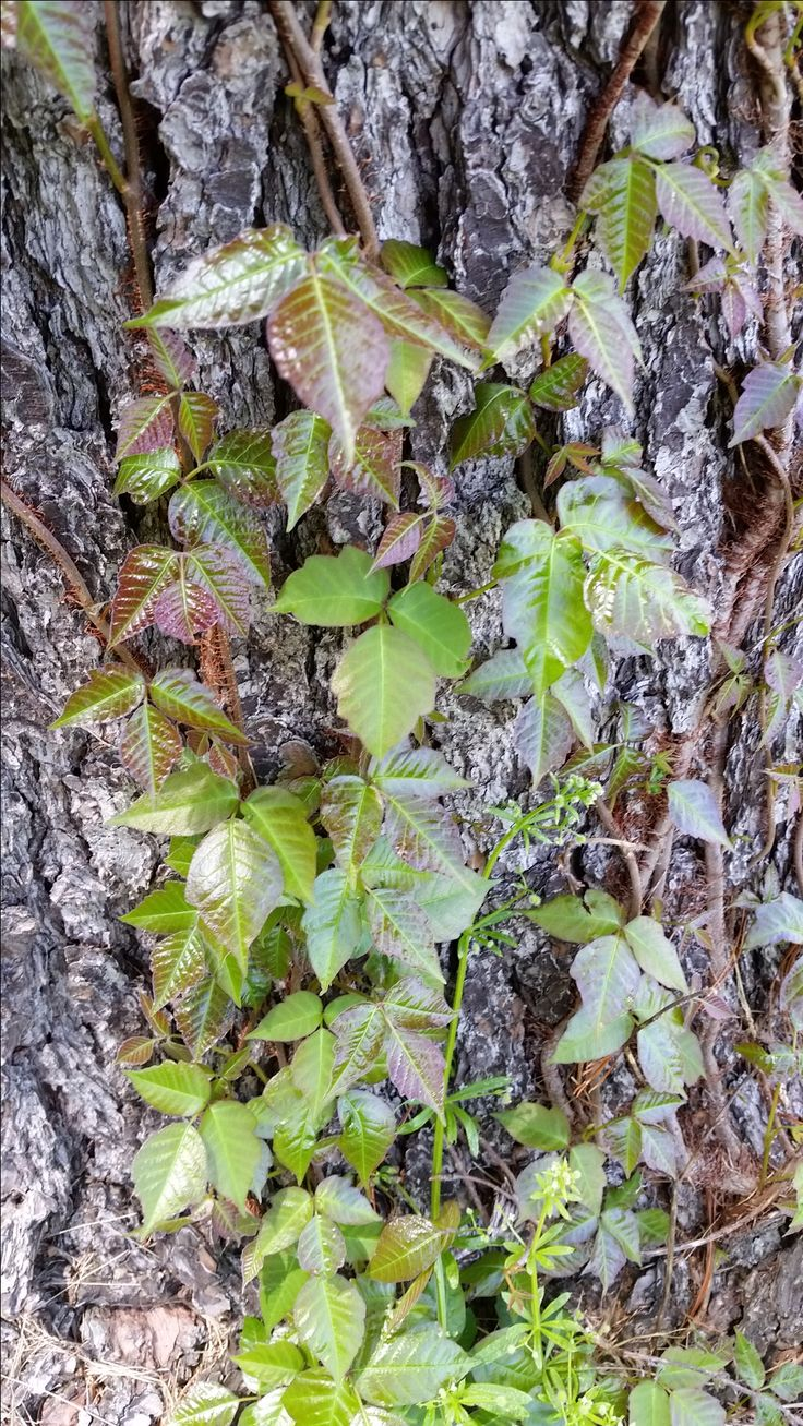 "The absolute sure-fire way to identify poison ivy and poison oak.  A lot more than just ""leaves of three, let it be""!"