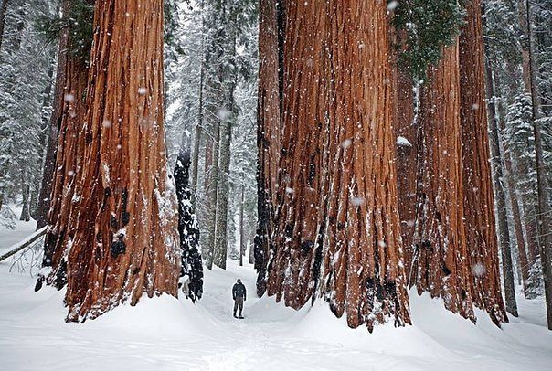 По сравнению с человеком гигантские секвойи кажутся настоящими великанами. Взрослое дерево может иметь высоту до 100 метров! Национальный парк Секвойя, штат Калифорния, США.