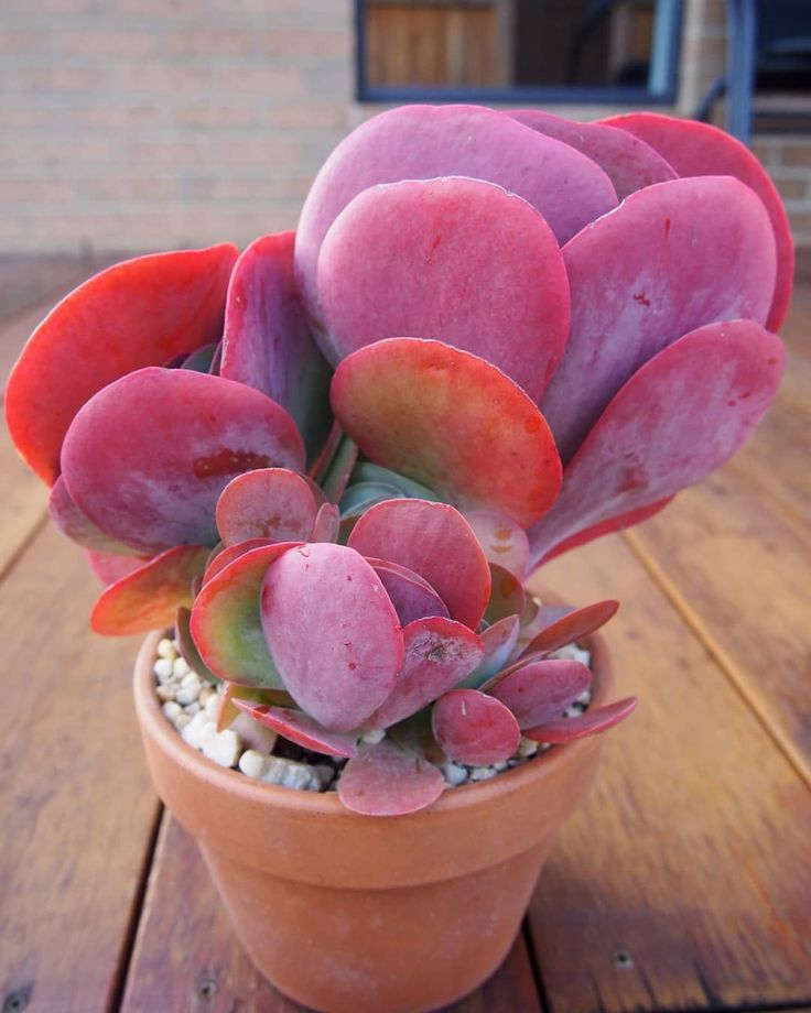 Graptopetalum Superbum With Images Paddle Plant Planting