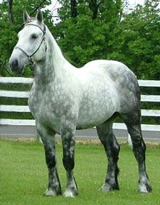 Absolutely gorgeous... I'd love to own a Percheron.