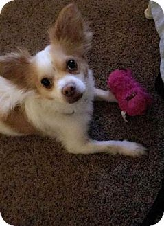 Chandler, AZ - Chihuahua/Pomeranian Mix. Meet BRUCE 3, a dog for adoption. http://www.adoptapet.com/pet/17665605-chandler-arizona-chihuahua-mix