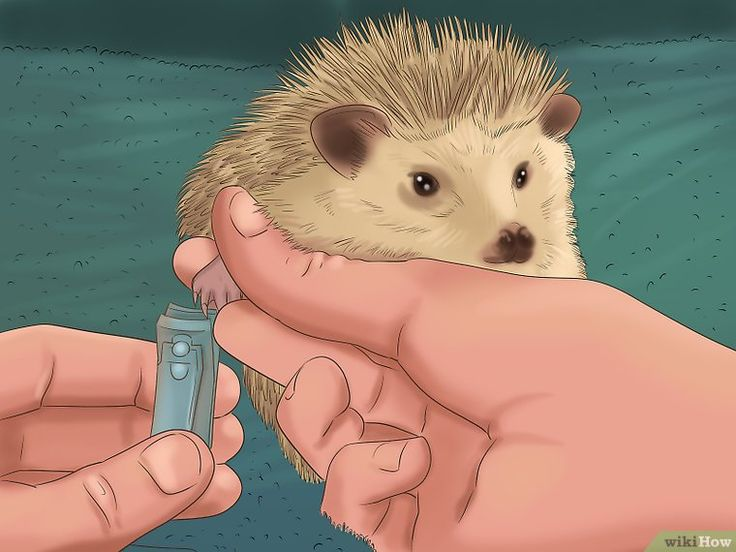 How to Take Care of a Hedgehog (with Pictures) - wikiHow