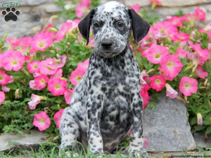 Dalmatian  Puppies For Sale In PA