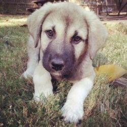 ... Shepherd on Pinterest   Anatolian shepherd, Kangal dog and Dog photos