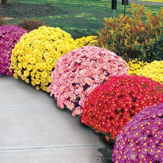 """Rows of """"Mammoth Daisy"""" Chrysanthemums - contemplating a 2-tone border for property front."""