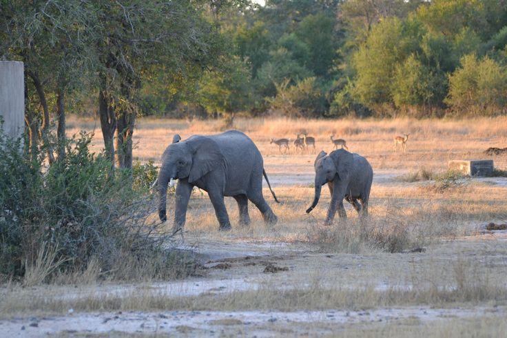Elephant at N'waswitshaka on s65