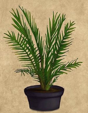 17 best ideas about date palms on pinterest palm plants date plant and how to grow plants. Black Bedroom Furniture Sets. Home Design Ideas
