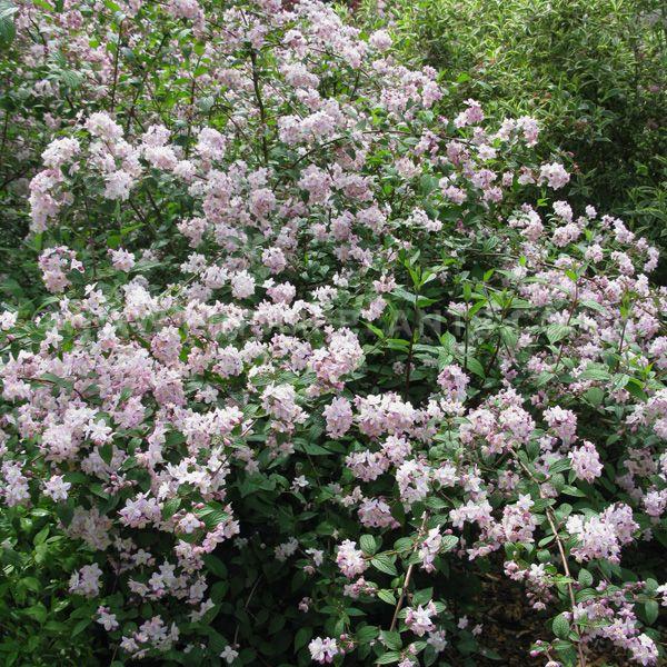 Deutzia Elegantissima Fasciculata Blooms Forever