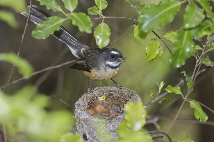 New Zealand fantail | New Zealand Birds Online