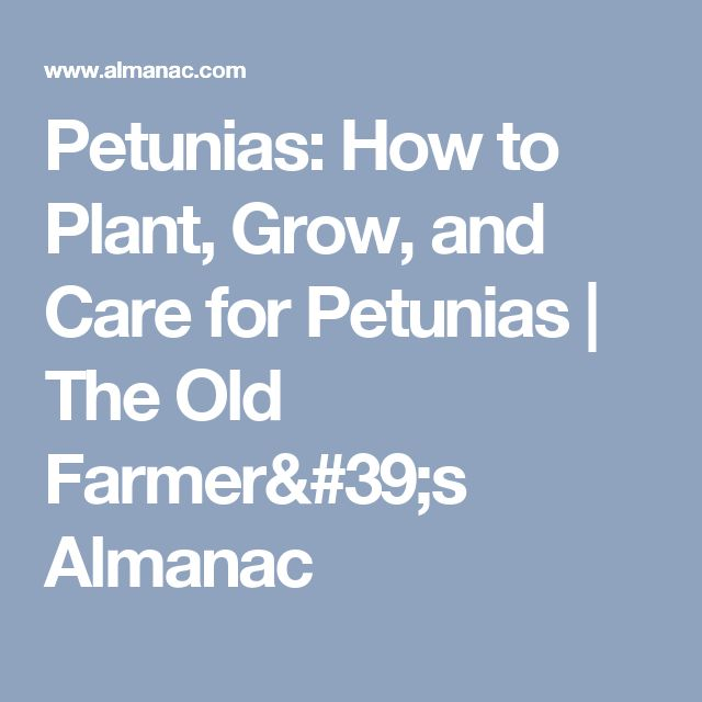 Petunias: How to Plant, Grow, and Care for Petunias | The Old Farmer's Almanac