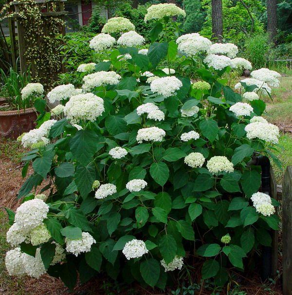 Growth habit of single 'Annabelle' plant