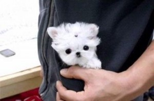 baby maltese  - we use to carry our maltese in our pouches to the boys basketball games. . . so adorable