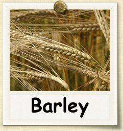 How to Grow Barley | Guide to Growing Barley