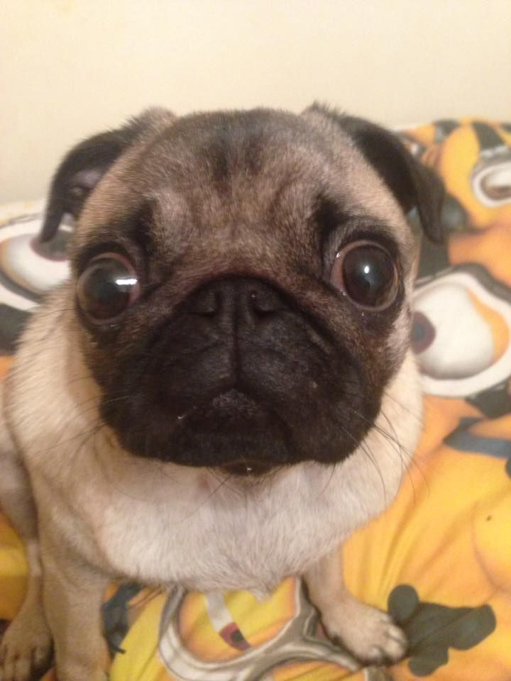 How Many Times Do You Feed Your Adult Pug Cute Pugs Pugs