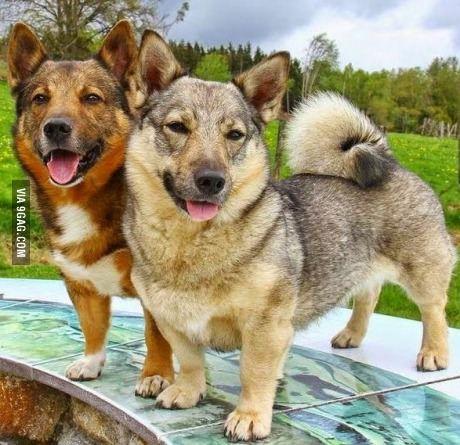 Swedish Vallhunds!