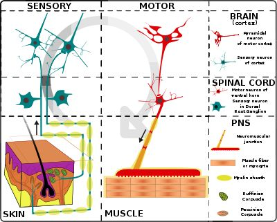 Muscles function