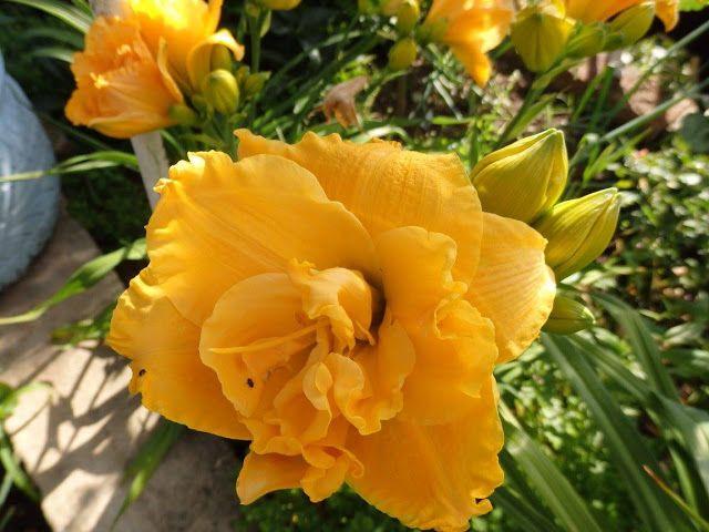 BLOGERWEBSITE: Naše zahrádka a lilie. Žlutý květ. Příroda kvete.
