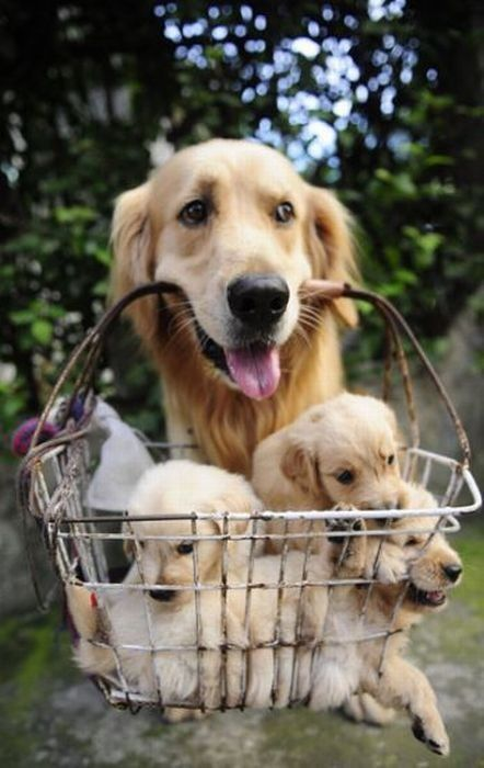 : Golden Puppies, Animal Baby, Pet, Baby Animal, Baby Dogs, Baskets, Special Delivery, Kid, Golden Retriever
