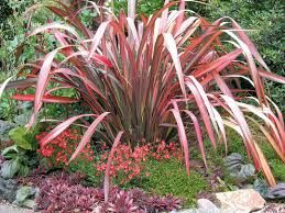 Image result for red phormium