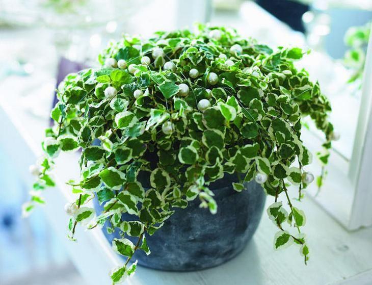 Фикус относится к влаголюбивым растениям, поэтому полив ему необходим обильный и регулярный