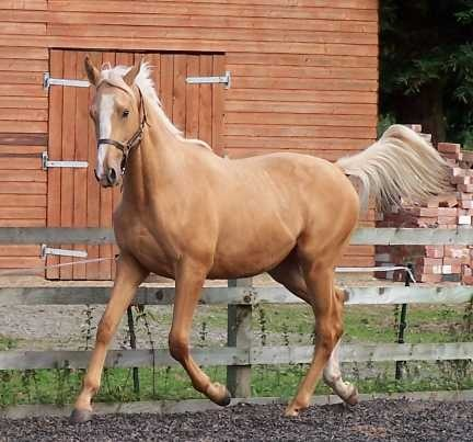 how to get palomino horse eso