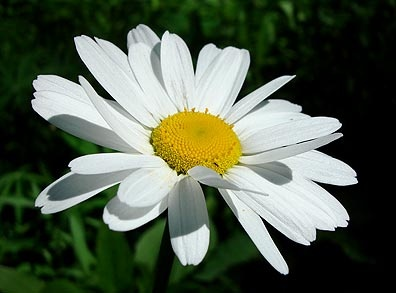 ox-eyed daisies