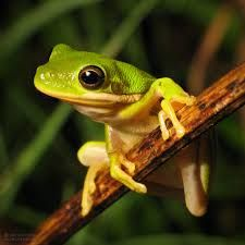 Image result for american green tree frog