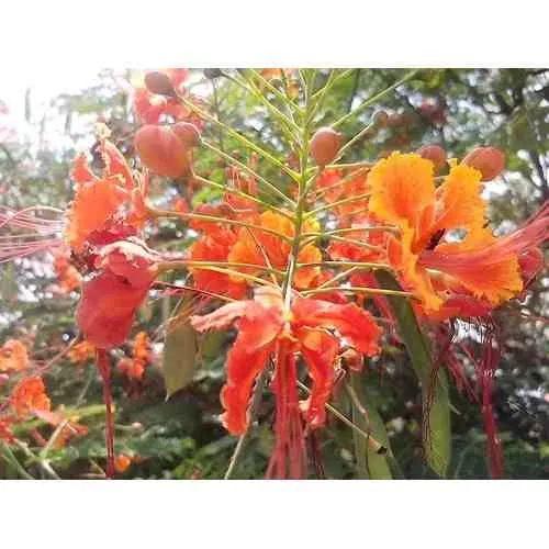 150semente Flamboyant Anão Árvore Flor Vermelha Jardim Praça - R$ 36,00