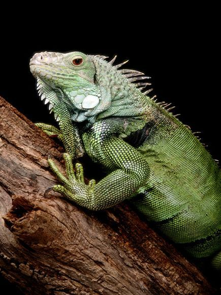 This is my favorite lizard, if you have one, please devote yourself to their care and diet.