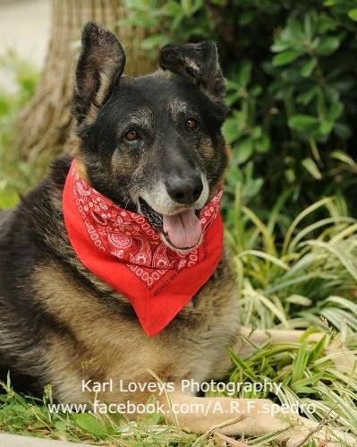 URGENT**SO CAL** ON MEDICAL ALERT **KING - A1388479 <3  I am an unaltered male, silver and black German Shepherd Dog 8 years old. I weigh approximately 130 pounds. Meet King! King is a stunningly handsome Super Senior. King is on Medical Alert and kept in ISO where no one can see him because his left front leg was swollen (possible fracture) and he is favoring the leg. King is very gentle and he loves attention and belly rubs. Please consider rescuing or adopting this special gentle giant!