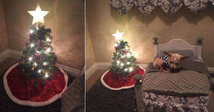 Una joven sorprende a su perro chihuahua con un mini árbol de Navidad hecho especialmente para él  #perro #perros #animales #animal #mascota #mascotas #noticia #noticias #historia #schnauzi #veterinario #veterinarios #dog #dogs #puppy #puppylove #chihuahua #chihuahuas
