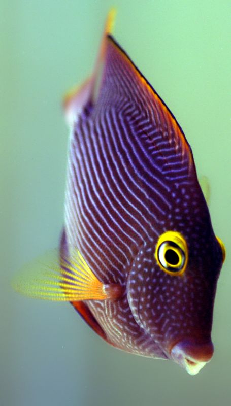 Kole tangs always have that bright yellow ring around their eyes, but usually start out with dull brown bodies as juveniles. It's not until they're about six months old that they turn orange and their blue spots and stripes begin to come out.