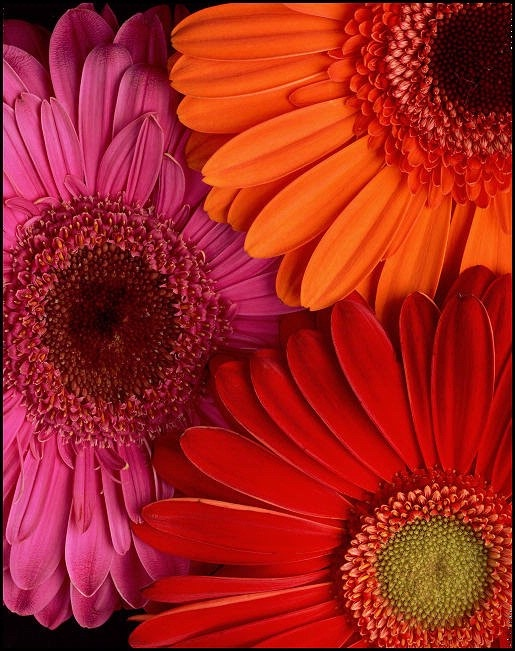 Inspiration..pink...orange..and red Gerber Daisies. Love the colors together!
