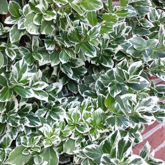 Klatreplante