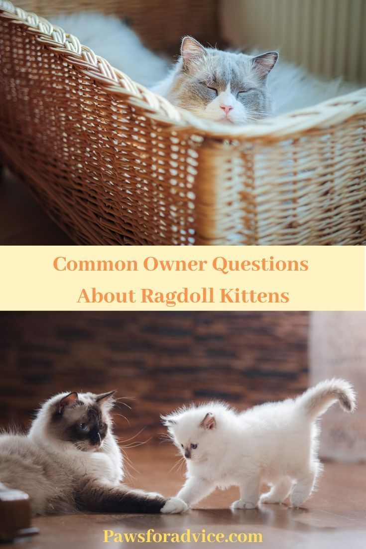 Common Owner Questions About Ragdoll Kittens Ragdollkittens Common Owner Questions About Ragdoll Kittens Catbr In 2020 Ragdoll Kitten Ragdoll Cat Cat Breeds Ragdoll