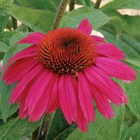 Top 10 Plants You Can't Kill - 1.coneflower