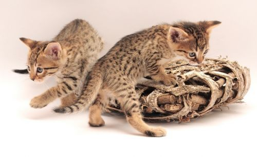 TICA Registered Savannah  and Serval Kittens, home raised and bred for quality, health, type and personality. Well adjusted kittens guaranteed at reasonable prices. These kittens are raised in our home, under foot. We offer top quality kittens f