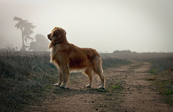 Golden Retriever Dog On Trail is a photograph by R Scott Duncan