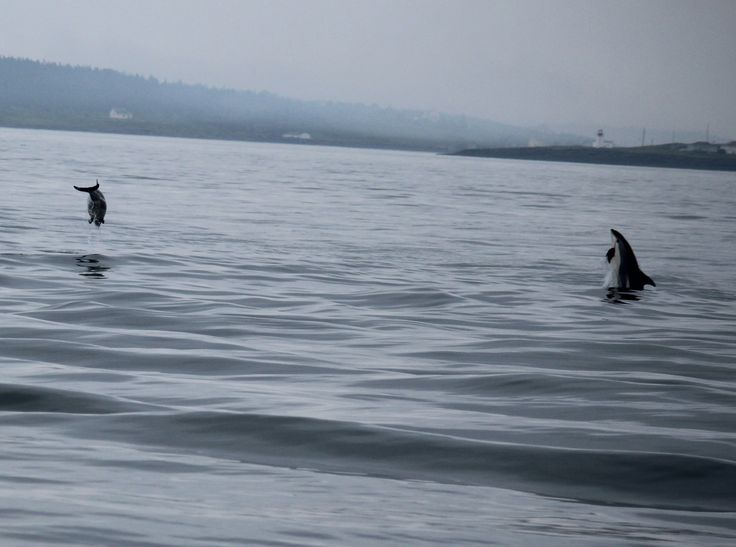 Playful dolphins near Northern Point, Brier Island.