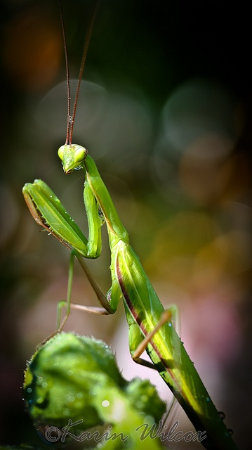 an introduction to the mantodea also known as the praying mantis We present the description of a new genus and new species of praying mantis, hondurantemna chespiritoi gen n & sp n this species of cryptic mantis.