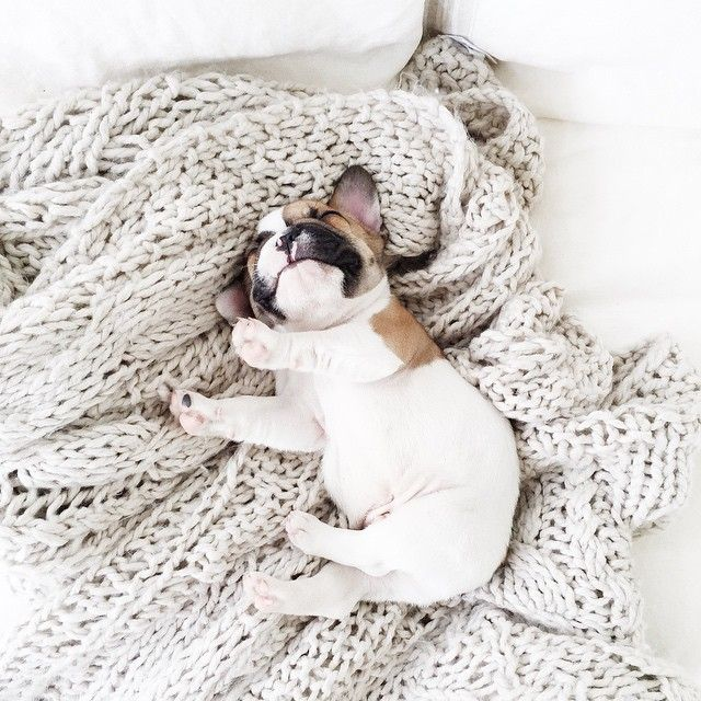Sleeping late on Sunday morning!  Follow me here: https://www.instagram.com/herman_thefrenchie/ #hermanthefrenchie #frenchie #frenchbulldog #puppy #sunday #funday #morning #sleepinglate