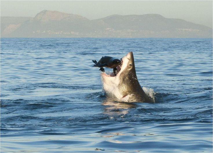 Desayuno en False Bay   Una hermosa mañana de junio, con el mar extrañamente calmo, Tonya Herron obtuvo esta maravillosa fotografía de un tiburón blanco (en peligro de extinción) alimentándose de una foca en False Bay, Sudáfrica.