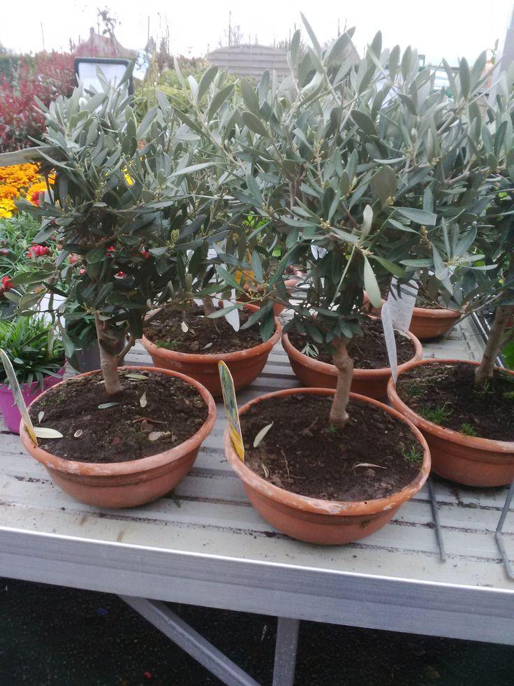 best 20 olivier en pot ideas on pinterest calcaire de patio douce arbre d 39 olive and endroit. Black Bedroom Furniture Sets. Home Design Ideas