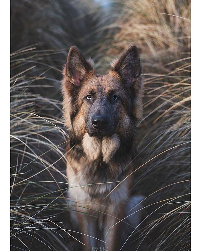 Handsome Boy Lunaandblue Germanshepherd Germanshepherds Germanshepherdmemes Germanshepherdphot German Shepherd Dogs Shepherd Dog German Shepherd Photos