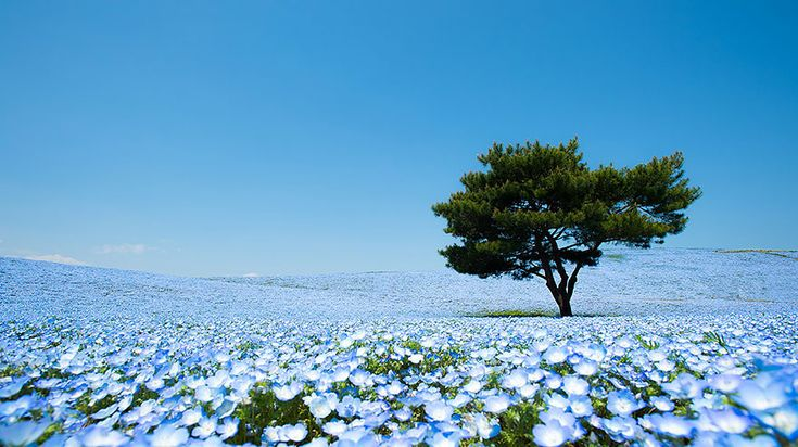 Hitachi Seaside Park: in Giappone fioriscono milioni di fiori blu - GIZZETA #flowers #nemophila #japan #blue