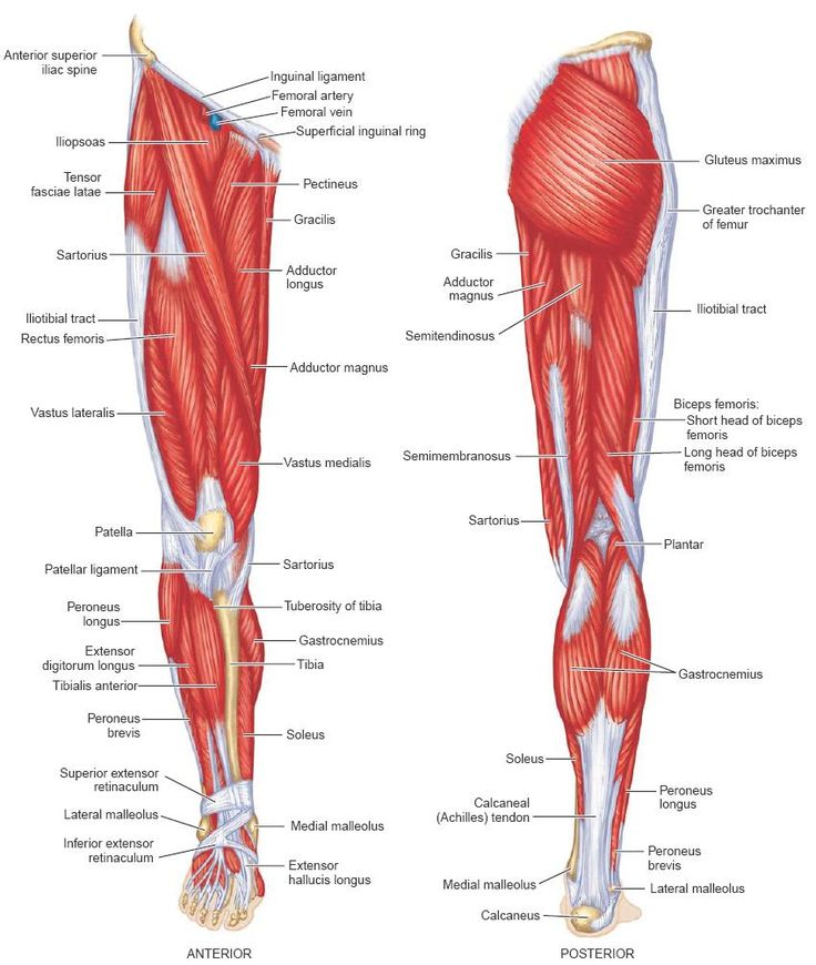 600 best muscles images on pinterest | massage therapy, muscle, Muscles