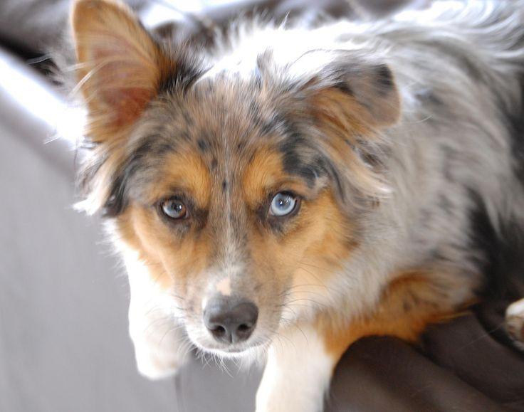The sweet fox-like Huey Lewis Dog!